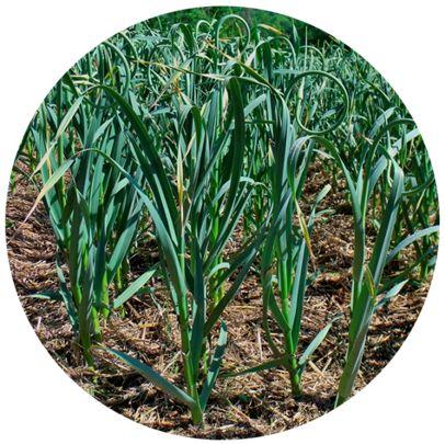 урожайность чеснока